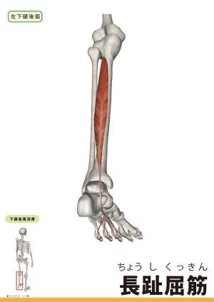 長趾屈筋のイラスト画像