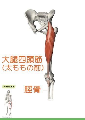大腿四頭筋 解剖図