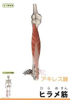 ヒラメ筋のイメージ画像