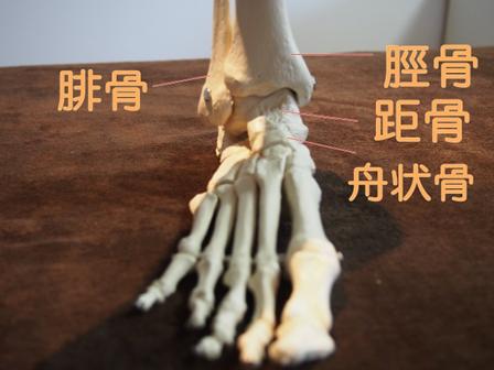 足関節骨格模型