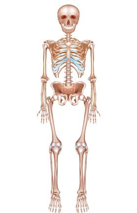 骨構造のイラスト